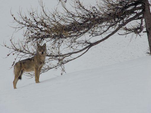 Marche avec les loups